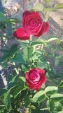 Beautiful red rose in the garden at night royalty free stock image
