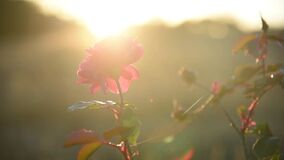 Beautiful red rose in garden at sunset. Closeup of flower bud