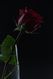 Beautiful red rose in a glass of water on a black background Royalty Free Stock Images