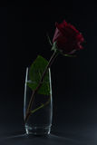 Beautiful red rose in a glass of water on a black background Royalty Free Stock Image