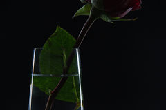 Beautiful red rose in a glass of water on a black background Stock Images