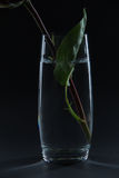 Beautiful red rose in a glass of water on a black background Royalty Free Stock Photography