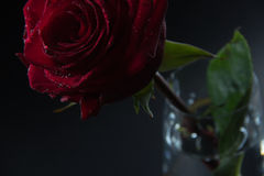 Beautiful red rose in a glass of water on a black background Stock Photos