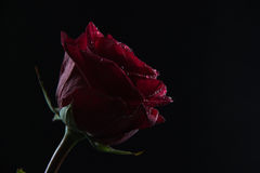 Beautiful red rose in a glass of water on a black background Stock Photo