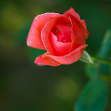 Beautiful red rose. On green background Royalty Free Stock Photography