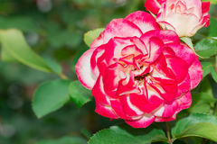 Beautiful red rose with green leaf in flower garden. Stock Photos