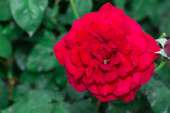 Beautiful red rose with green leaf in flower garden. Royalty Free Stock Image