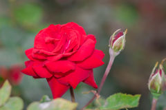 Beautiful red rose with green leaf in flower garden. Stock Photography