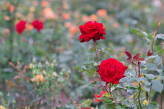 Beautiful red rose with green leaf in flower garden. Stock Image