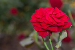 Beautiful red rose with green leaf in flower garden. Stock Photo
