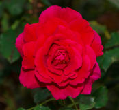 Beautiful red rose with green leaf in flower garden. Royalty Free Stock Photography