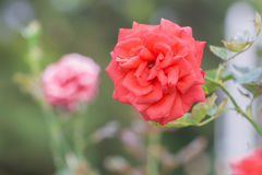 Beautiful red rose with green leaf in flower garden. Stock Images