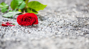 Beautiful red rose with green leaves left on the street wallpaper Royalty Free Stock Image