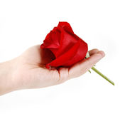 Beautiful red rose on hand. On a white background royalty free stock photo