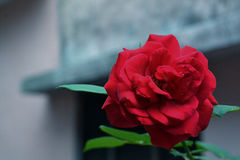 Beautiful red rose. Heart line rise kiss Royalty Free Stock Images