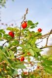 Beautiful red rose-hip Stock Image
