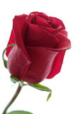 Beautiful red rose isolated on white. Background stock photography