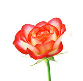 Beautiful red rose isolated on white Stock Photos