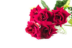 Beautiful red rose isolated Royalty Free Stock Images