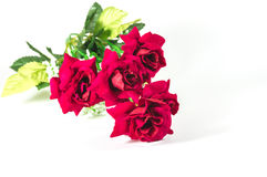 Beautiful red rose isolated Royalty Free Stock Photography