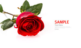 Beautiful red rose isolated Stock Image