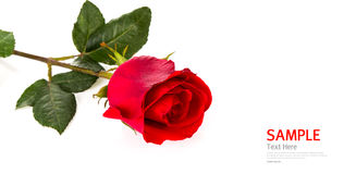 Beautiful red rose isolated Royalty Free Stock Photo
