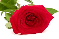 Beautiful red rose isolated on white background Royalty Free Stock Images