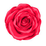 Beautiful red rose isolated on white background. Royalty Free Stock Photo