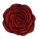Beautiful red rose isolated on white background. Stock Image