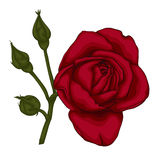 Beautiful red rose isolated on white background. Stock Photos