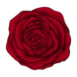 Beautiful red rose isolated on white background. Stock Images