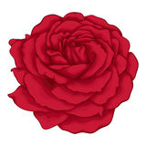 Beautiful red rose isolated on white background. Royalty Free Stock Image