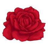 Beautiful red rose isolated on white background. Royalty Free Stock Images