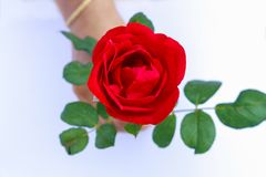 Beautiful Red Rose Isolated on White Background held by hand royalty free stock photo