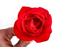 Beautiful Red Rose Isolated on White Background stock images