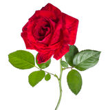Beautiful red rose. Red rose isolated white design  greeting card Stock Photography