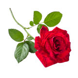 Beautiful red rose. Red rose isolated white design greeting card stock photos