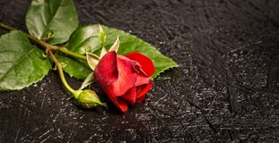 Beautiful red rose laying on black background. Close-up photo of beautiful red rose on black background, copy space for text stock photo