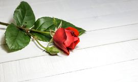 Beautiful red rose laying on a white wooden table. Close-up photo of red rose on a white wooden table, copy space for text royalty free stock photos