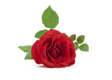 Beautiful red rose with leaves Stock Photo