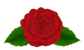 Beautiful red rose with leaves isolated on white background. Great design element for cards and decorations Royalty Free Stock Images