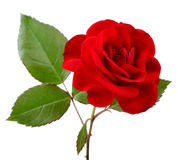 Beautiful Red Rose with Leaves on White Background Stock Photos