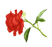 Beautiful red rose with long stem and leaves  isolated on white background. Stock Image