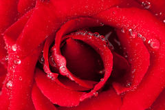 Beautiful red rose. macro. Stock Photo