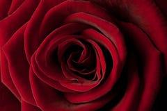 Beautiful red rose macro Stock Image