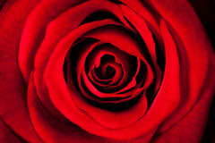 Beautiful Red Rose In Macro Stock Photography