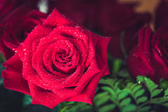 Beautiful red rose macro shot close up. Valentines Day Stock Photography