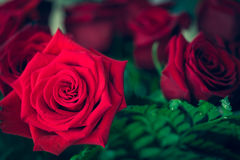 Beautiful red rose macro shot close up. Valentines Day Royalty Free Stock Photo