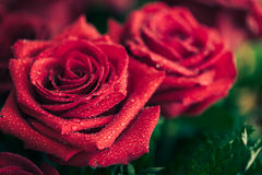 Beautiful red rose macro shot close up. Valentines Day Royalty Free Stock Photos