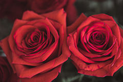 Beautiful red rose macro shot close up. Valentines Day Stock Photo